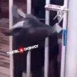 An intelligent goat set fellow goats free